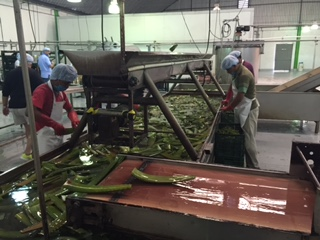After a thorough wash, the leaves are hand 'filleted' to remove the tough, dark green outer skin. HayMax Aloe Vera is made using the juicy inner part of the leaf. The tough outer part can cause skin irritation (common in cheaper products).